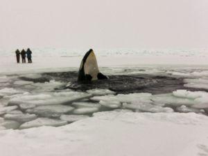 """Japón mató 333 ballenas en la Antártida, 122 de embarazadas, """"por razones científicas"""""""
