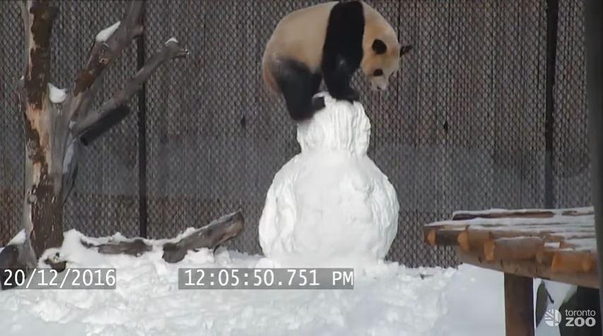 Video: Así juega un oso panda con un muñeco de nieve