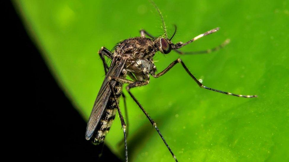 La fiebre de oropouche, el nuevo virus que se parece al zika, pero es peor