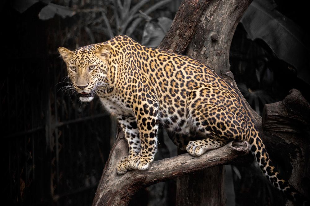 Leopardo buscaba devorar a puercoespín; mamífero roedor lo enfrenta de la forma más sutil