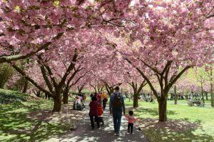Brooklyn saca sus colores en el Sakura Matsuri Festival