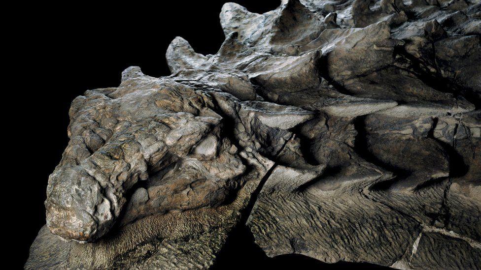 Los expertos han quedado fascinados por lo intacto que fue hallado el nodosaurus, aunque solo pudieron rescatar la mitad del fósil.