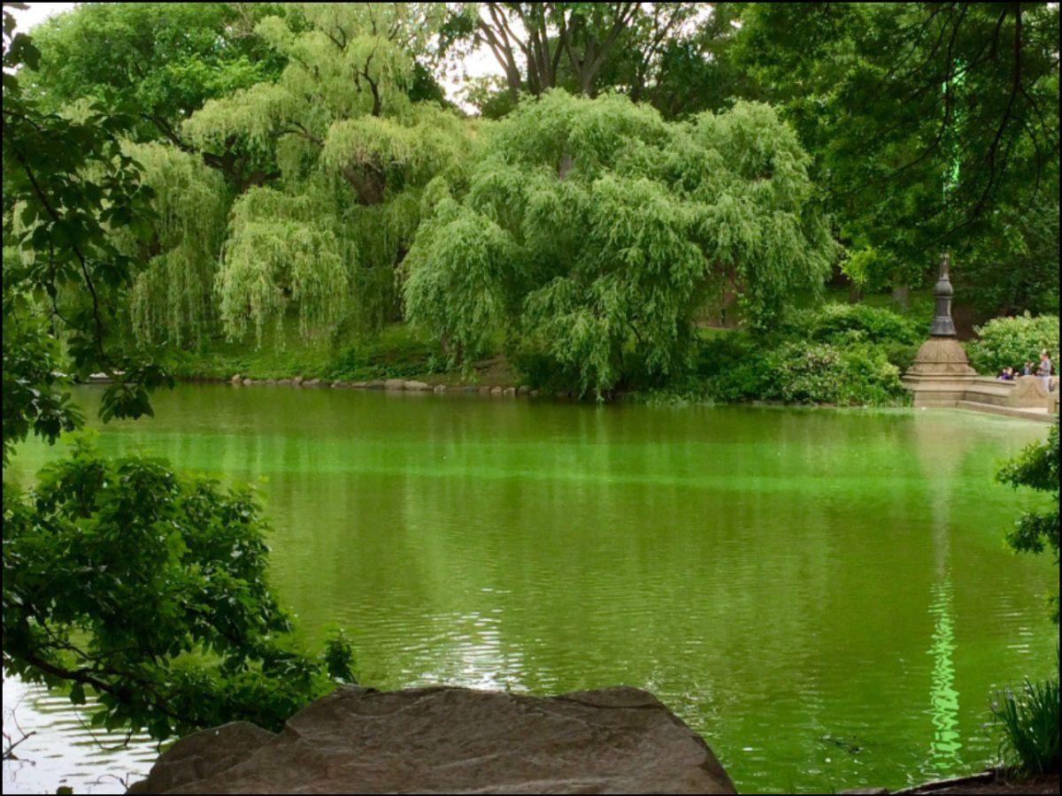 Video: Invasión de algas tóxicas en 39 lagos y estanques de NY
