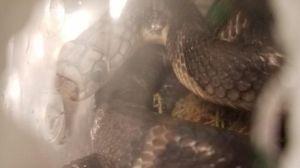 Decomisan un paquete con cinco serpientes venenosas en JFK