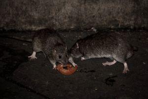 ¿Qué pasará con las ratas de Nueva York durante la cuarentena?