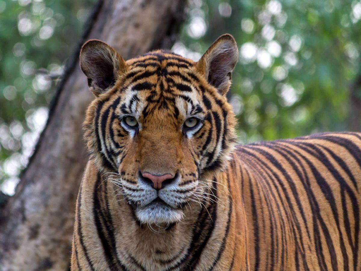 Video: Tigre de circo escapa y ataca al público