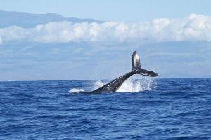 Ballenas jorobadas dan la sorpresa de sus vidas a turistas en Acapulco