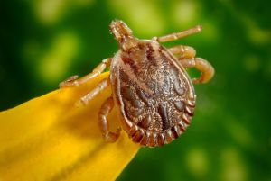 Protégete de las enfermedades transmitidas por garrapatas