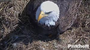 Nace la cría de Harriet, el águila calva de Florida más seguida en Internet
