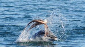 Increíbles imágenes muestran lucha entre un pulpo y un delfín