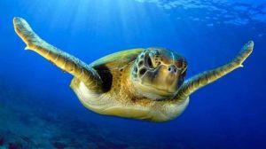 ¿Por qué casi todas las tortugas verdes marinas son hembras?