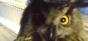 El búho protagonista de este vídeo que se hace viral