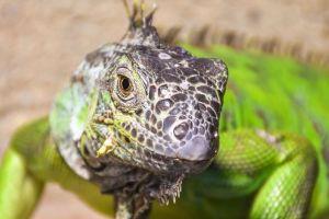 Por qué es normal que los lagartos tengan tres ojos (y el científico que encontró un fósil de cuatro ojos)