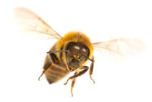Video muestra a abejas japonesas mientras acorralan hasta la muerte a avispón asesino