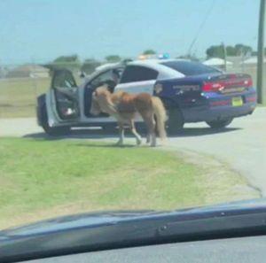 Un poni se escapa y es escoltado por la  policía en Florida