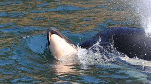 Triste historia: una ballena arrastró a su cría muerta durante días