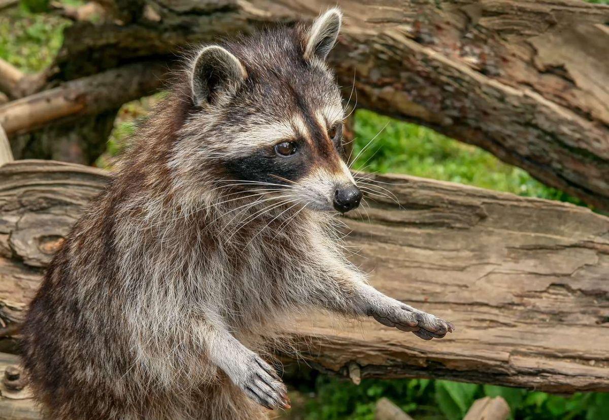Alerta por ataques de mapaches al público y mascotas en Central Park