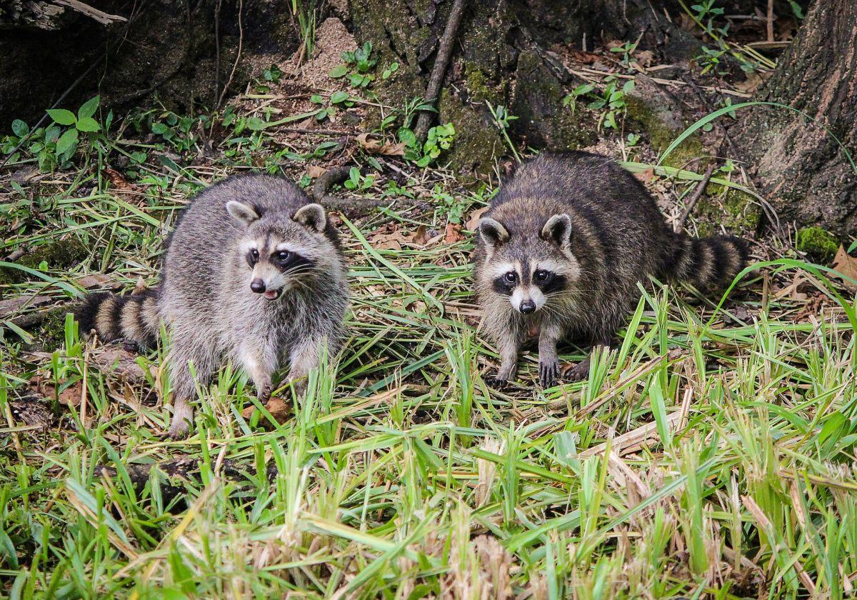 'Virus zombie' mata a 26 mapaches en Central Park