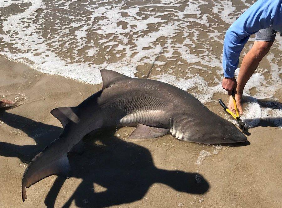 Atrapan a dos tiburones tras ataques a niños en Fire Island