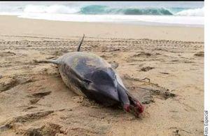 Hallan a un delfín muerto en Oaxaca, se asfixió con un pañal deseschable