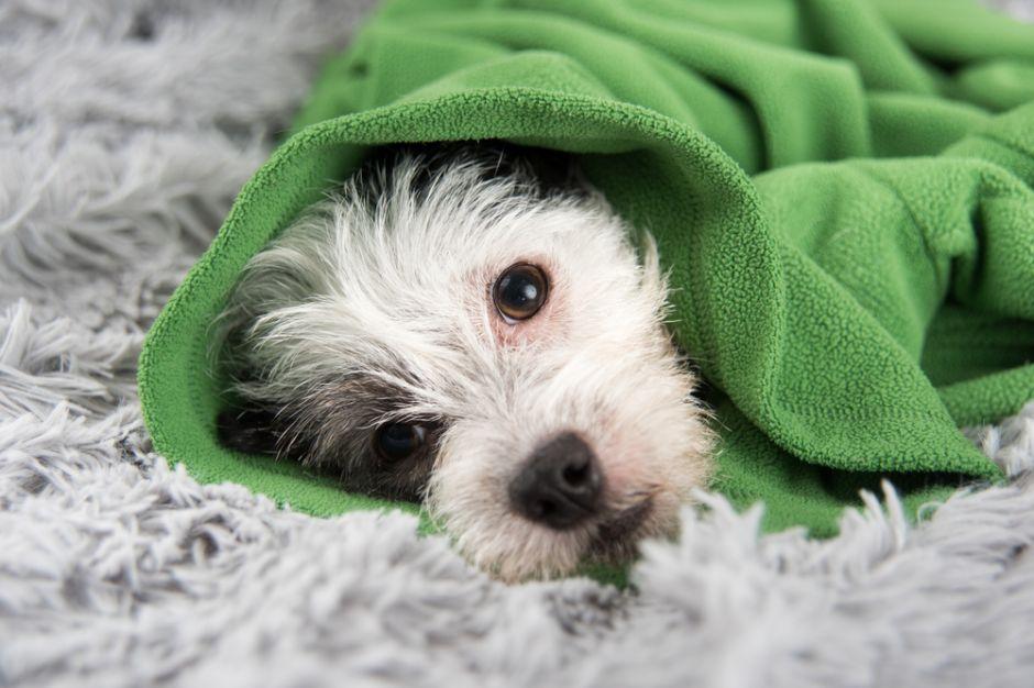 Influenza canina: ¿la nueva amenaza para la salud humana?