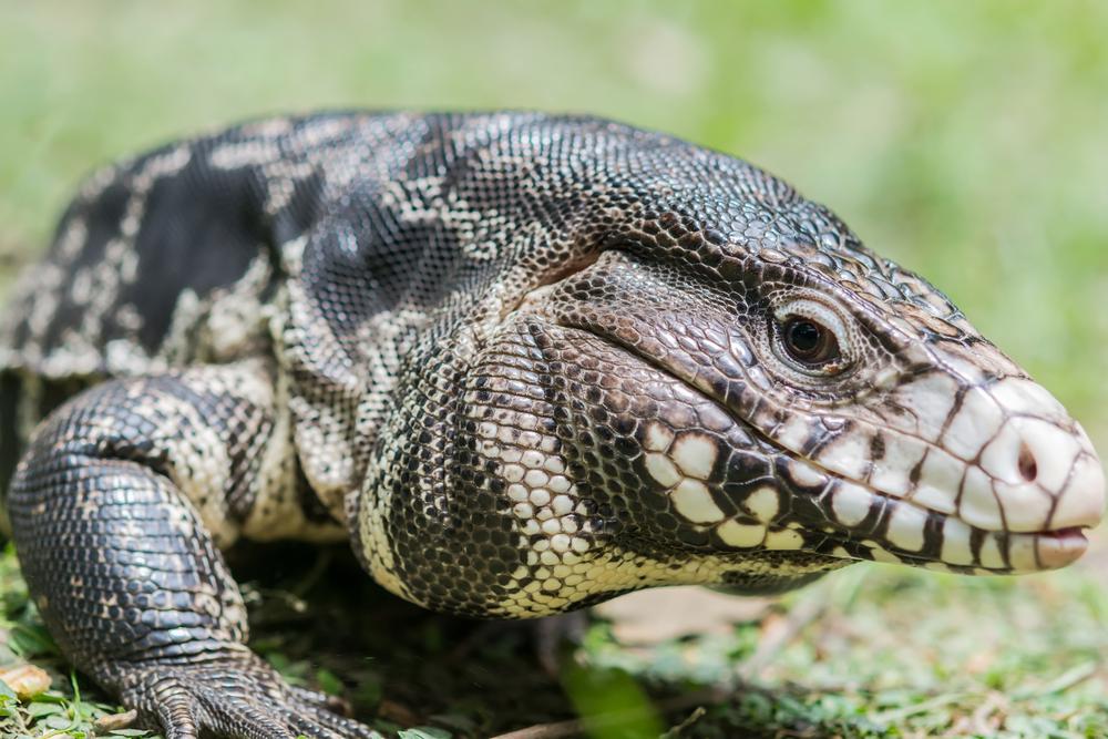 Los voraces reptiles sudamericanos que están invadiendo Florida