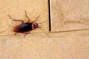 ¿Pueden las cucarachas transmitir enfermedades?