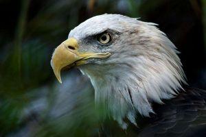 Viral: Un águila calva se une a un homenaje para conmemorar el 9/11 en Minnesota