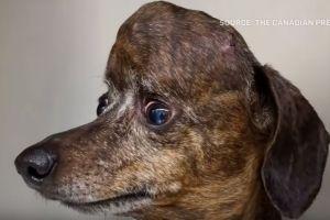 El perro con cáncer que recibió un cráneo de titanio