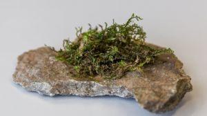 La radula: Así es la planta que puede ser la marihuana del futuro