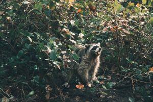 Cuidado con la plaga de 'mapaches zombies'; pueden contagiar a tu perro