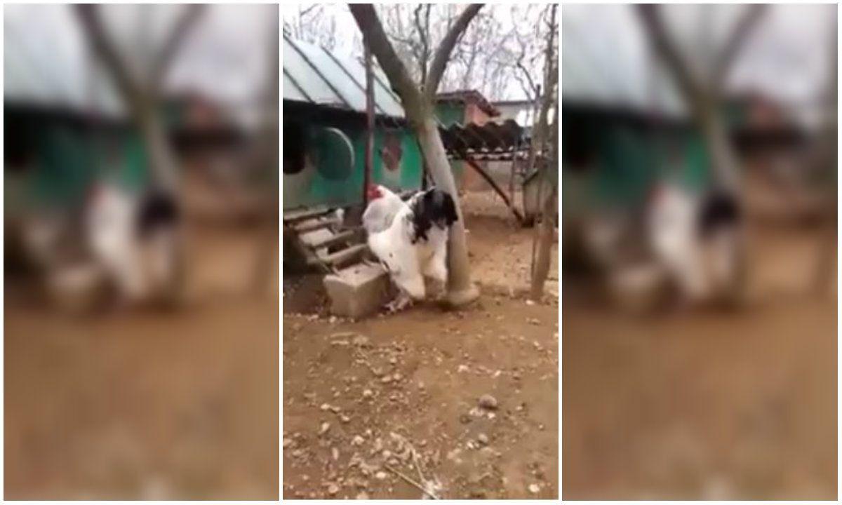 Video: Sorprende en Internet un gallo de casi un metro de altura