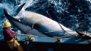 Por qué Japón decidió reanudar la caza comercial de ballenas en contra de gran parte del mundo