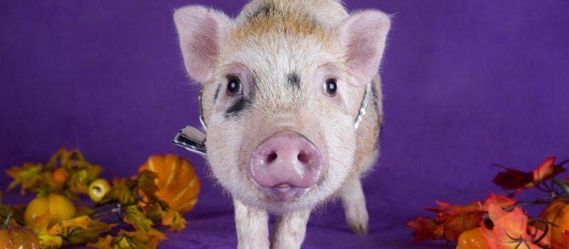 Horóscopo Chino: Estos serán los signos más favorecidos en el año del Cerdo en 2019