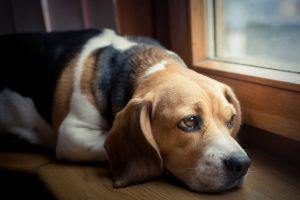 ¿La tiroides puede afectar a perros y gatos?
