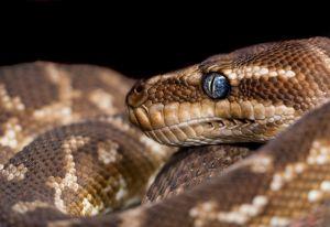 Hombre en Inglaterra usa serpiente como mascarilla y viaja con la víbora en autobús público