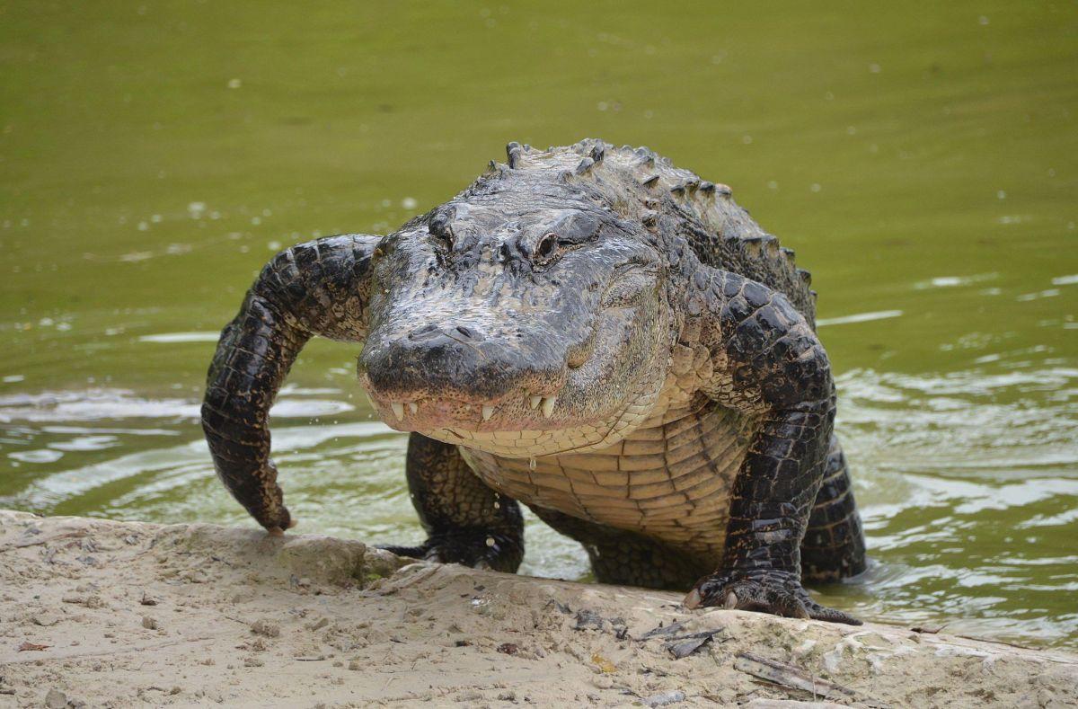 Así es el caimán que paseaba en un parque en Florida: 12 pies, 750 libras y 100 años