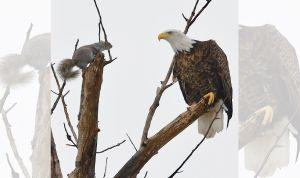 Ardilla enfrenta a águila para defender a sus bebés