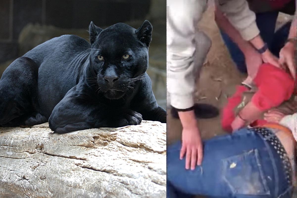 Mujer es atacada por un jaguar negro en zoológico de Arizona