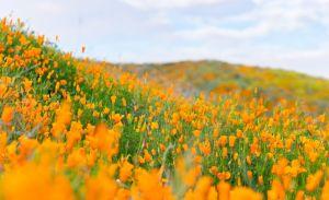 California se cubrirá de colores esta primavera y este lago ya se vistió de amarillo