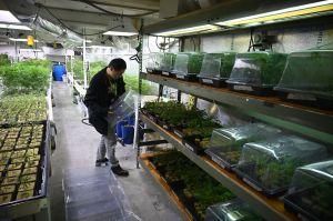 Logran acuerdo para legalizar la marihuana recreacional en Nueva Jersey