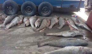 """""""Cárteles de la Totoaba"""" se aferran a la llamada """"cocaína acuática"""" en México"""