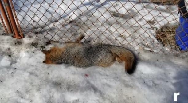 Policía de Nueva York se dispara en el pecho por error al huir de un zorro