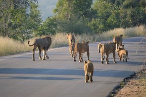 Quería un rinoceronte, pero termina aplastado por un elefante y devorado por leones