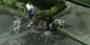 Hombre suelta a pitbull en Colombia para que ataque a vecinos