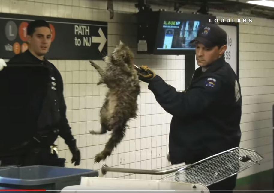 Video: Mapache se pasea como si nada por estación del Subway