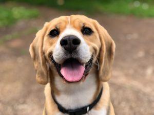 Los perros pueden oler el cáncer en la sangre con 97 por ciento de exactitud