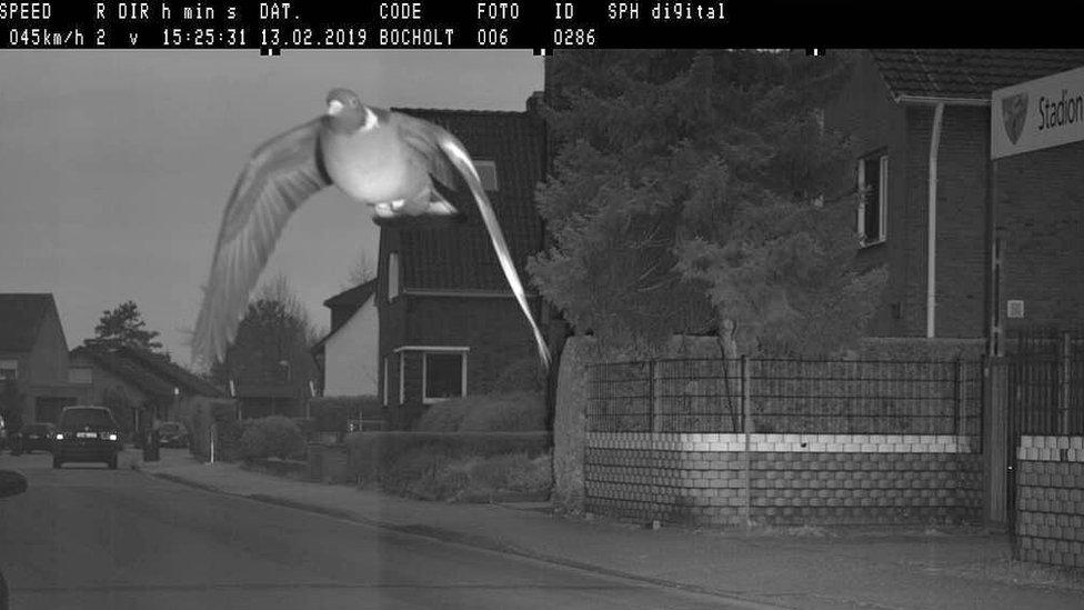 """La paloma que fue captada por una cámara por volar con """"exceso de velocidad"""""""