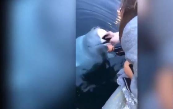 El increíble momento en que una ballena beluga le devuelve su iPhone a una turista