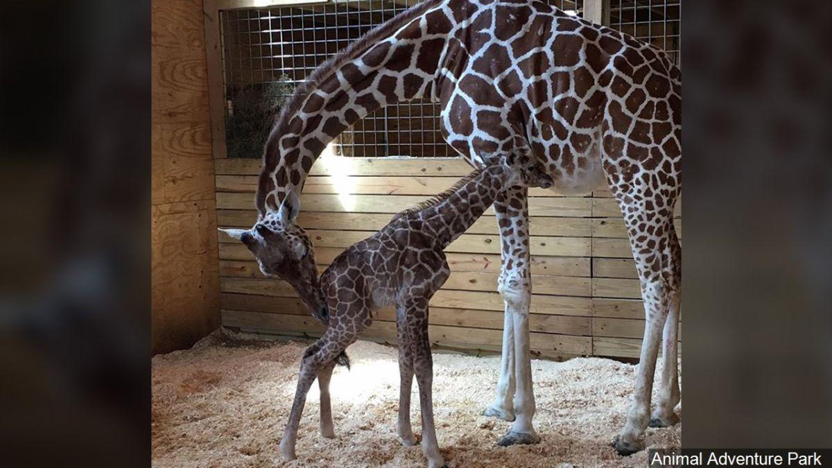 La jirafa Abril con una de sus crías